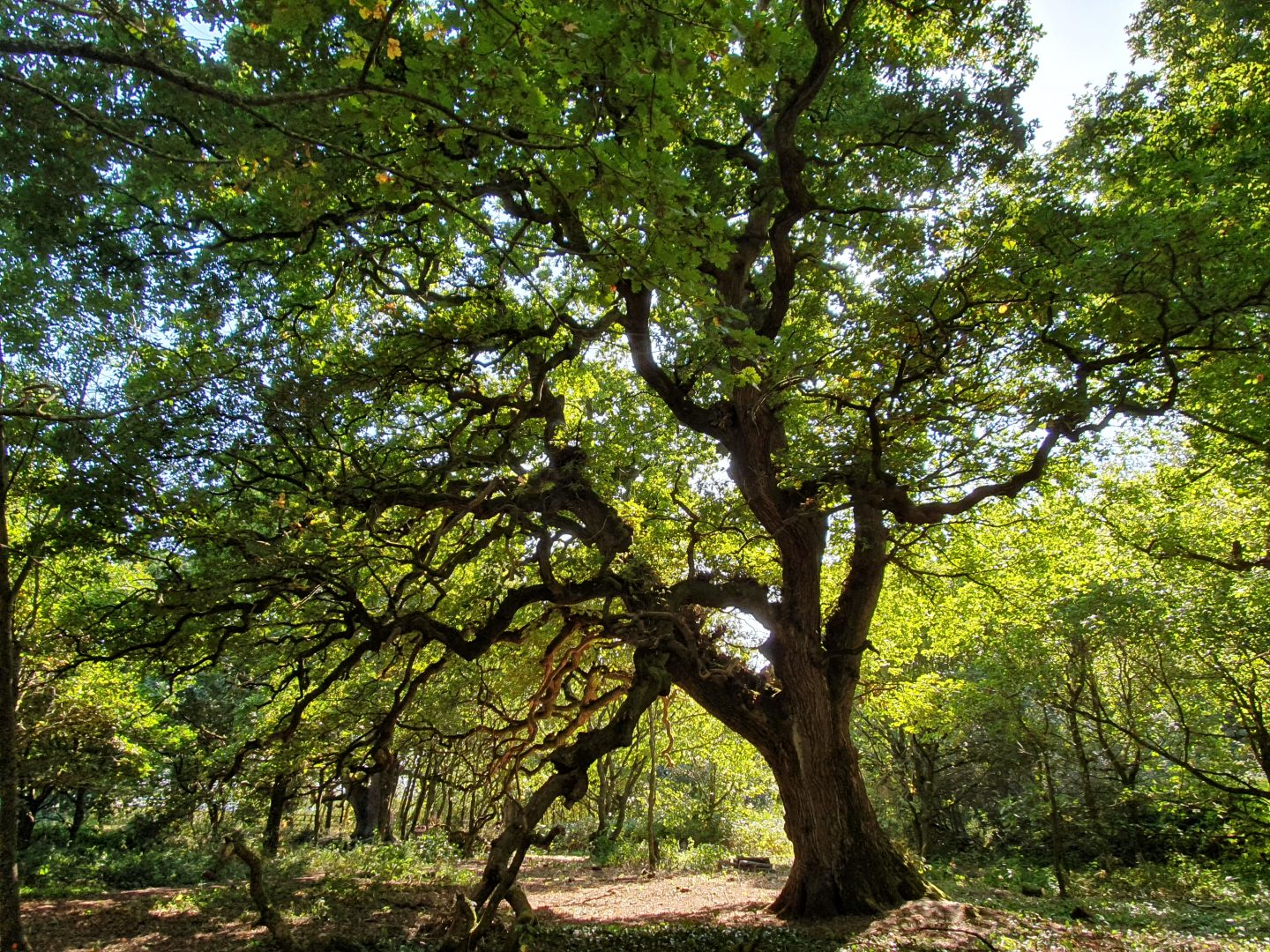 An old oak tree in the middle of a managed wood